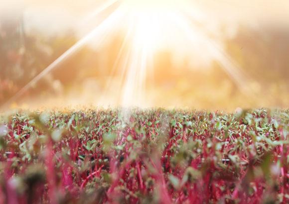 About Radish Microgreens